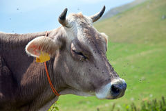 Cow with flies. Italian alps royalty free stock images