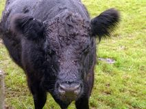Cow and flies. Approaching cow wanted flies removing but there are no flies on yours truely stock photo