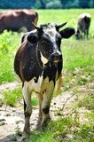 Cow with flies. Large numbers of flies gather on a cows nose royalty free stock photos