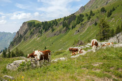 Cow flock feed on cattle range. The cow flock feed on cattle range in european Alps Royalty Free Stock Image