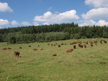 Cow flock on a pasture. Cow flock on a grassy pasture Royalty Free Stock Photography