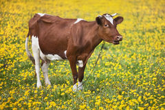 Cow in flower Royalty Free Stock Photography