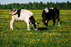 Cow on flower meadow. Royalty Free Stock Photos