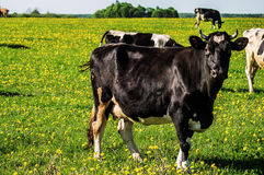 Cow on flower meadow. Cow — female of domestic ox (lat. Bos taurus taurus), domesticated subspecies of the wild bull (Bos taurus), of cloven-hoofed ruminant Stock Photo