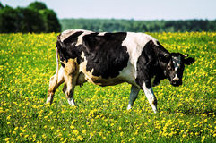 Cow on flower meadow. Cow — female of domestic ox (lat. Bos taurus taurus), domesticated subspecies of the wild bull (Bos taurus), of cloven-hoofed ruminant Royalty Free Stock Image