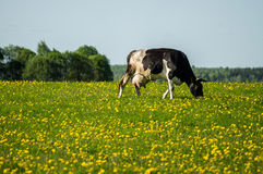 Cow on flower meadow. Cow — female of domestic ox (lat. Bos taurus taurus), domesticated subspecies of the wild bull (Bos taurus), of cloven-hoofed ruminant Stock Images