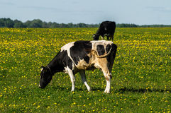 Cow on flower meadow. Cow — female of domestic ox (lat. Bos taurus taurus), domesticated subspecies of the wild bull (Bos taurus), of cloven-hoofed ruminant Royalty Free Stock Photography
