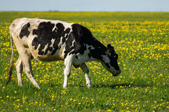Cow on flower meadow. Cow — female of domestic ox (lat. Bos taurus taurus), domesticated subspecies of the wild bull (Bos taurus), of cloven-hoofed ruminant Royalty Free Stock Photo