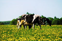 Cow on flower meadow. Stock Photos