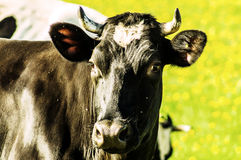 Cow on flower meadow. Stock Image