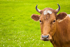 Cow and flower meadow Royalty Free Stock Photography