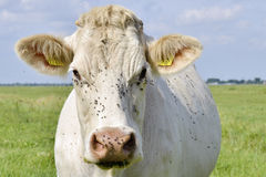 Cow with fly's on his head Royalty Free Stock Photography