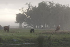 Cow in Fog Stock Photo