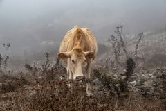 Cow in the Fog royalty free stock photos