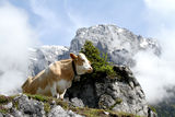 Cow on foggy mountain stock images