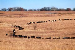 Cow following one another walking single file in a circle like a bunch of ants in a winter field. Cow following one another walking single file in a circle like Stock Images