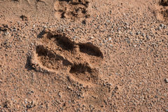 Cow foot print on country road Stock Image