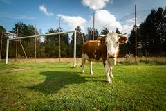 Cow on a football pitch royalty free stock images