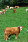 Cow in Foreground. Brown Cow in Foreground, taken in Upper Austria Royalty Free Stock Image