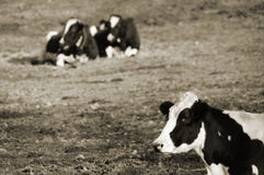Cow in foreground, two in the background Stock Photography