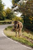 Cow in the forest landscape royalty free stock photos
