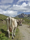 Cow in the Formazza Valley Stock Image