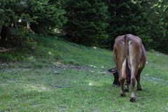 Cow. Free cow in Italy Stock Photo