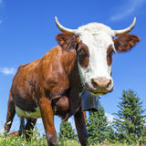 Cow in french alps with blue sky Stock Image