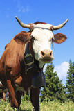 Cow in french alps Royalty Free Stock Images