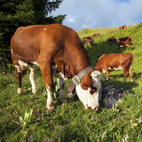 Cow in french alps landscape Stock Image