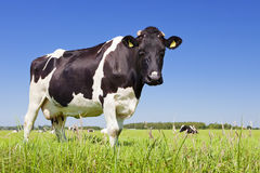 Cow in a fresh grassy field on a clear day Royalty Free Stock Photos