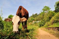 Cow in front of Buddhist temple, Ella, Sri Lanka. Cow grazing in front of Buddhist temple in Ella, Sri Lanka Royalty Free Stock Photo