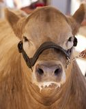 Cow Front Face Royalty Free Stock Image