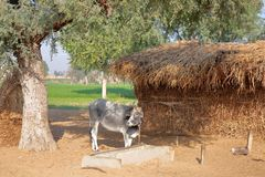 A cow in front of a farm hut with hay in the countryside of Nawalgarh, Shekhawati, Rajasthan, India. A cow in front of a farm hut with hay in the countryside of Royalty Free Stock Image