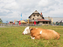 Cow in front of farmhouse Stock Image