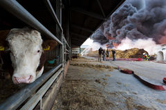 Cow in front of fire. Cow in front of a huge fire in Voorhout Stock Image