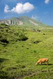 Cow in front of mountain. Brown cow eating meadow grass in front of Mount Oujoudake under sky in Aso, Kumamoto Royalty Free Stock Images