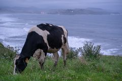 Cow in front of ocean at a green field. This cow is enjoying her day infront of the atlantic ocean. In the back you see ths spain village of san vicente de la royalty free stock photography