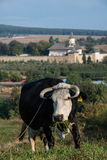 Cow in front of Probota monastery. In Bukovina, (Bucovina), Moldavia (Moldova Stock Photo