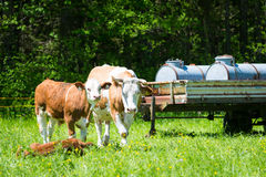 Cow in front of water tanks Royalty Free Stock Image