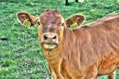Cow funny erarings. Cows funny erarings bull grass Stock Photo