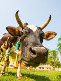 Cow funny face closeup, Ceylon Stock Images