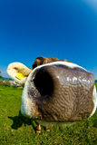 Cow, funny fisheye nose close up Royalty Free Stock Photo
