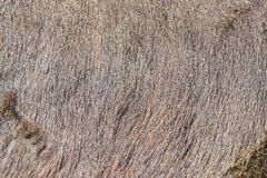 Cow fur background or texture. Fragment of a skin of a cow in th Stock Image