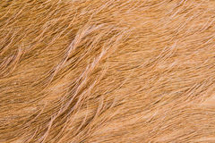 Cow fur (skin) texture. Royalty Free Stock Photo