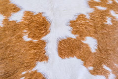 Cow fur (skin) texture. Stock Images