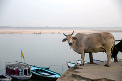 Cow on the ghats, near the Ganges river in Varanasi, India. This is a typical scene at Assi Ghat in Varansi. You can see many cows, dogs and goatson the banks of royalty free stock images