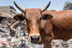 Cow garbage dump. Cows eat food on a garbage dump Royalty Free Stock Photography