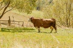 Cow gazing Stock Photo