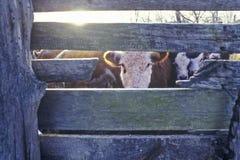 Cow gazing through wooden slats, cattle farm, MO Stock Image